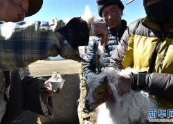 西藏牧区千年习俗——羊净身