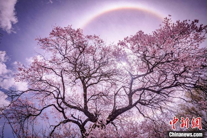 图为林芝桃花景色。资料图 张静 摄