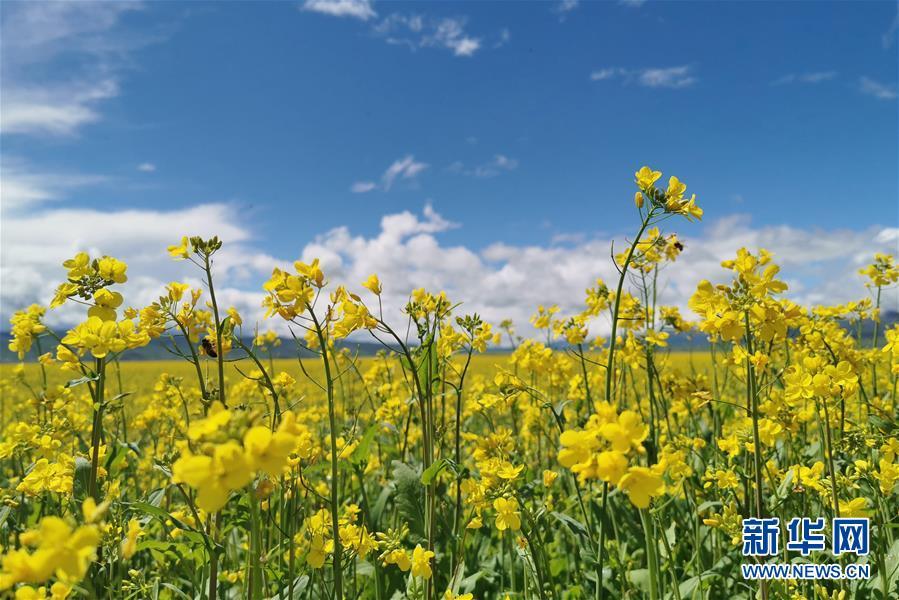 (环境)(2)门源油菜花开满原野