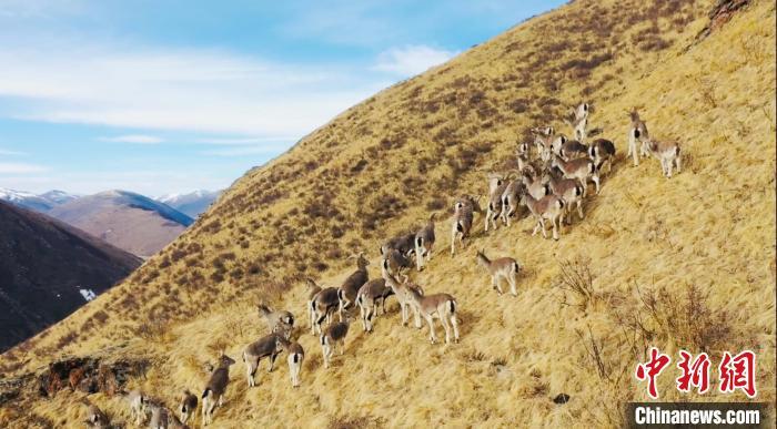 三江源核心区现数百只野生岩羊群
