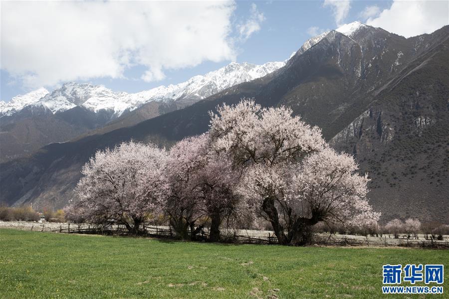 (春季美丽生态)(1)雪域桃花始盛开