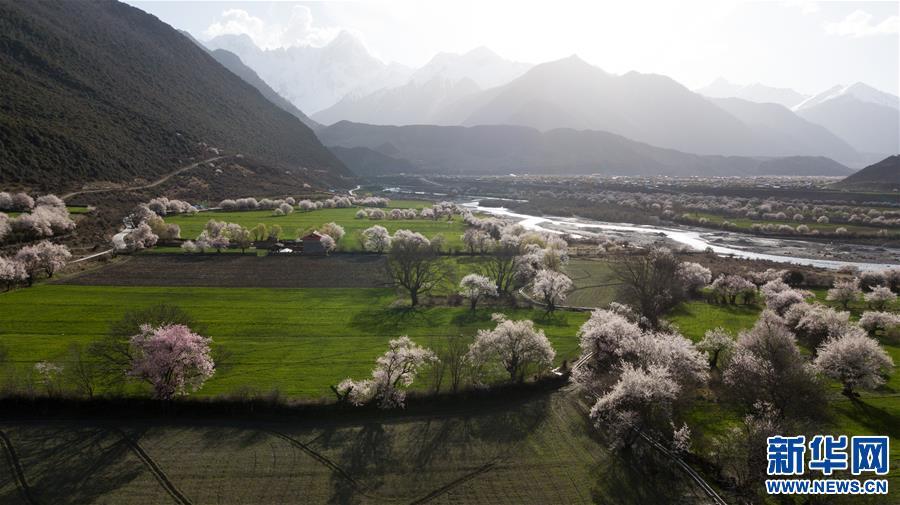 (春季美丽生态)(5)雪域桃花始盛开