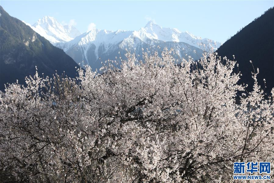 (春季美丽生态)(3)雪域桃花始盛开