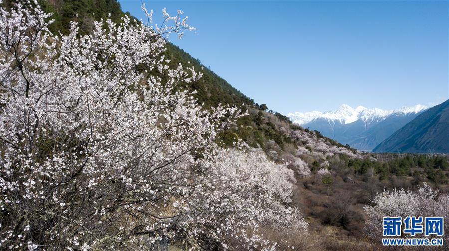 (春季美丽生态)(6)雪域桃花始盛开