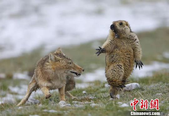 青海两名摄影师获英国野生动物摄影年赛大奖