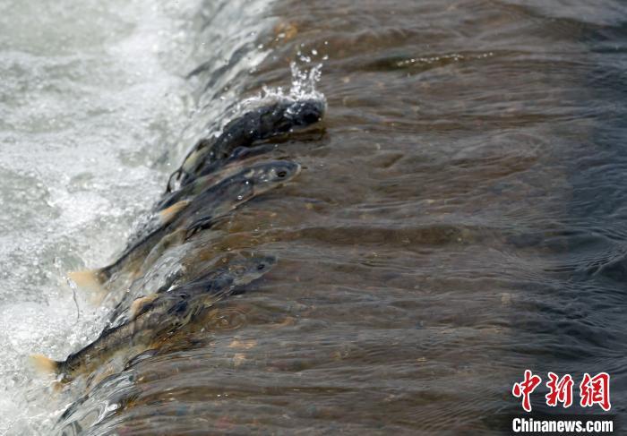 青海湖裸鲤资源20年增长35.8倍