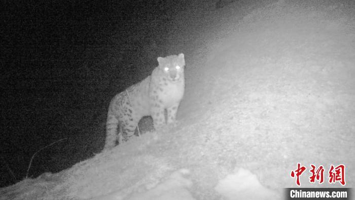 青海德令哈柏树山森林地质公园拍摄到雪豹活动画面