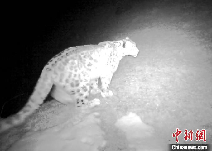 图为监控视频中的雪豹。 乌席勒 摄
