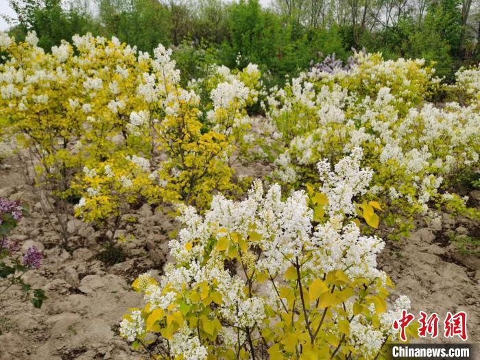 图为西宁市栽植的丁香。西宁市林业科学研究所供图
