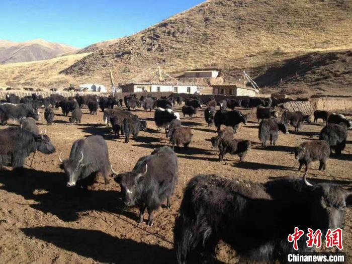 青海农牧业保险提质增效首次将雪灾纳入保险赔偿责任