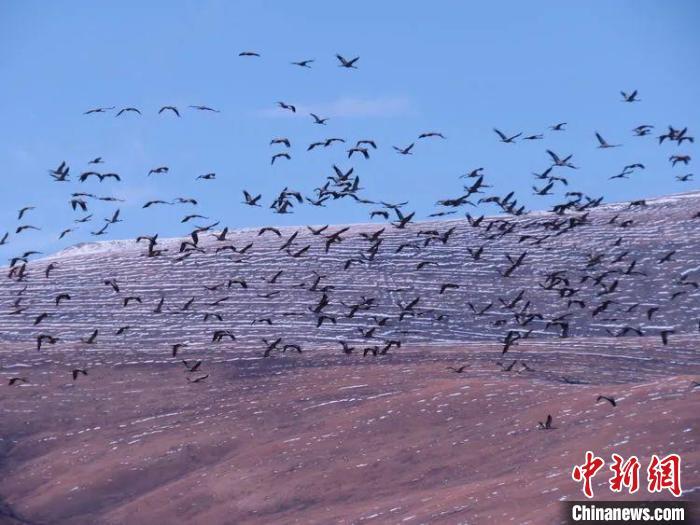 青海首次在全省范围内开展黑颈鹤专项调查