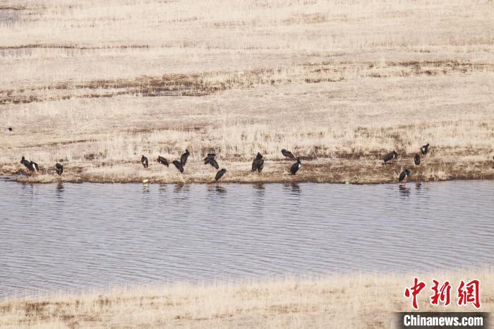 青海南门峡国家湿地公园首现黑鹳种群过境停留