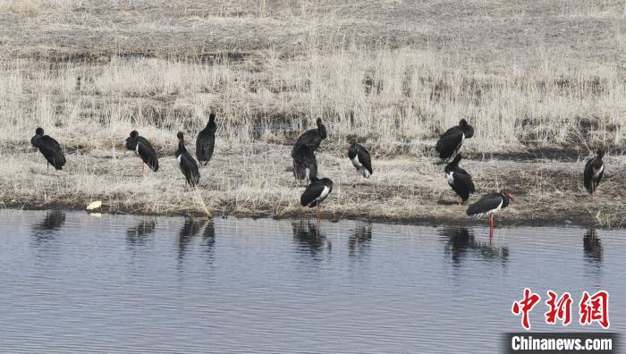 图为黑鹳群在南门峡水库边栖息停留。南门峡湿地公园供图