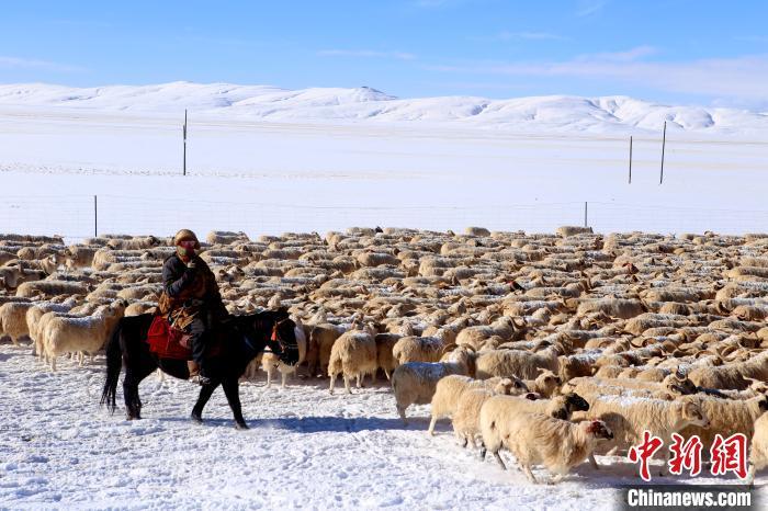 """""""玛多藏羊""""资源优势带动黄河源头牧民增收致富"""