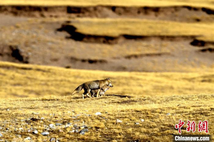 图为狐狸妈妈与小狐狸一起散步。 赵时春 摄