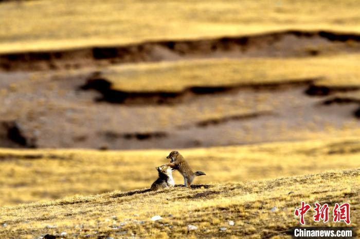 """高原藏狐以""""迷之微笑""""著称,主要分布海拔3000米至4000米的高原地带。 赵时春 摄"""