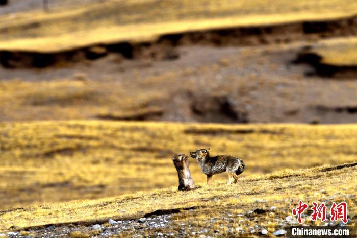 """高原藏狐作为青藏高原特有种,却因""""不拘一格""""的地方脸形象走红网络。 孙睿 摄"""