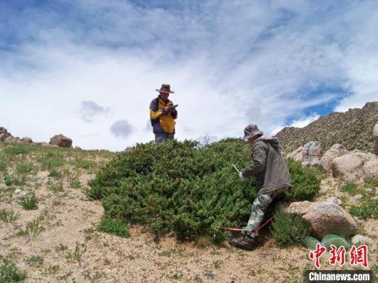 中科院青藏高原所科研团队在纳木错周边开展香柏灌丛分布调查。科研团队 供图