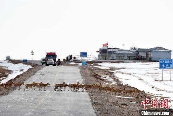 图为藏羚羊在迁徙过程中,可可西里管理处五道梁保护站工作人员采取临时交通管制措施保护迁徙顺利进行。 尕玛英培 摄