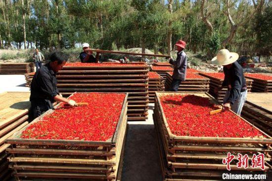 图为柴达木盆地特色鲜红枸杞。(资料图) 孙睿 摄