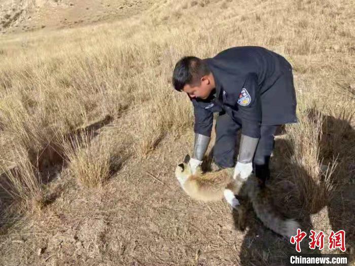 图为受伤的狐狸康复后回归自然。青海海南藏族自治州贵南县森林公安供图