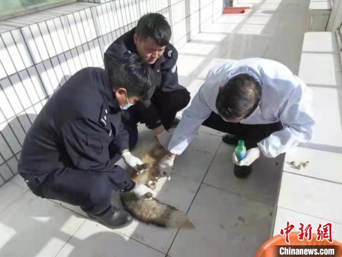 图为国网青海检修公司员工李玉仓在线路检修途中救助受伤的狐狸。 姜栋奎 摄