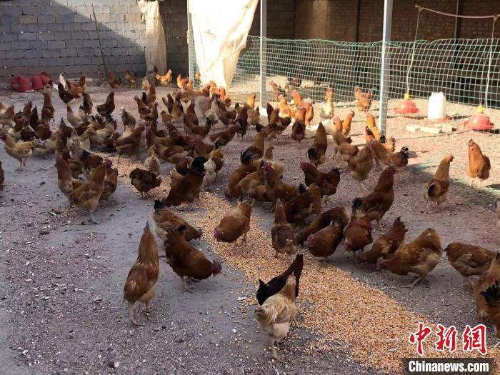 图为聂贤良家养殖的土鸡。 杨帆 摄