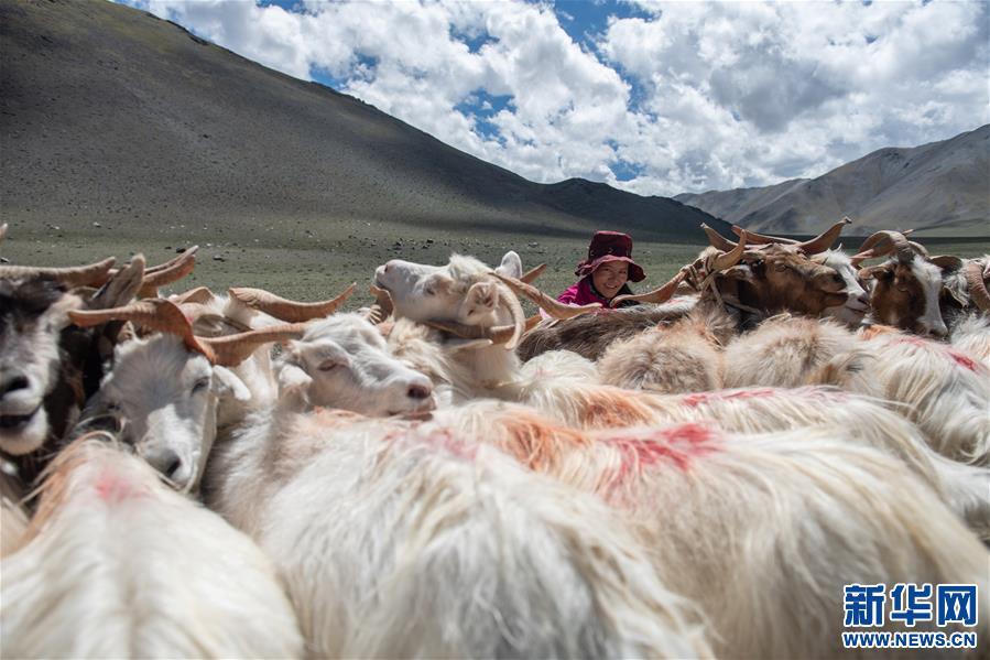 (经济)(9)西藏牧区迎来挤奶季