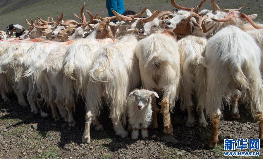 (经济)(8)西藏牧区迎来挤奶季
