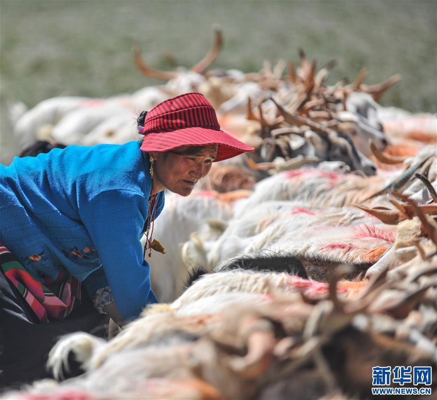 (经济)(5)西藏牧区迎来挤奶季