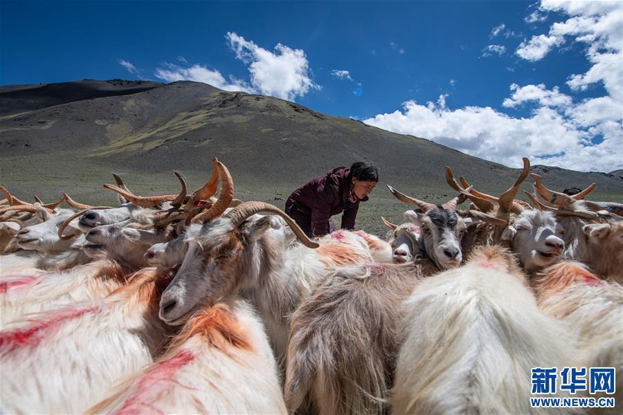 (经济)(4)西藏牧区迎来挤奶季
