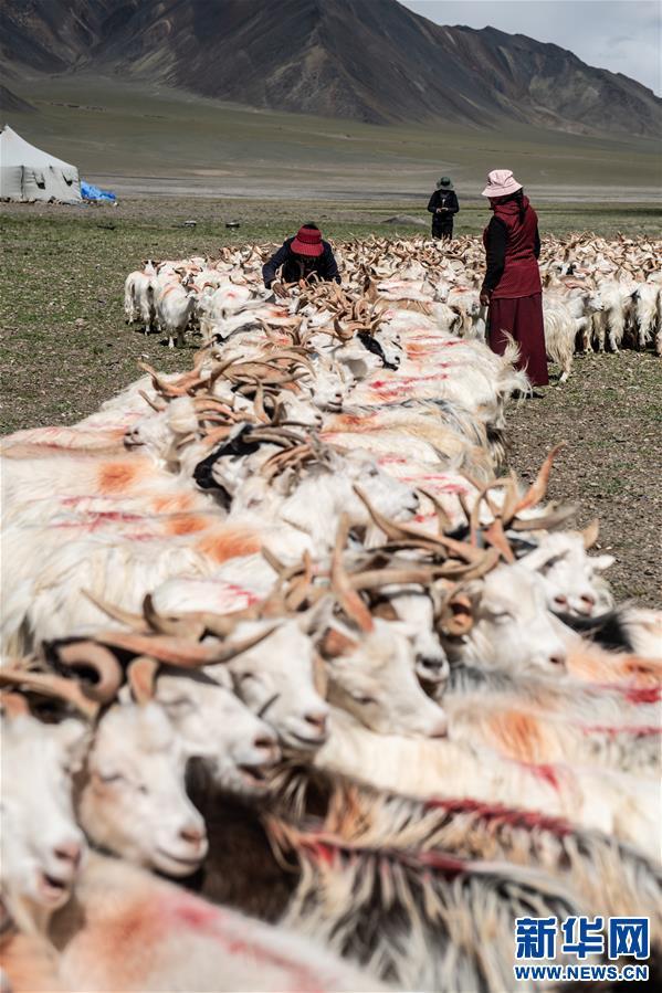 (经济)(3)西藏牧区迎来挤奶季