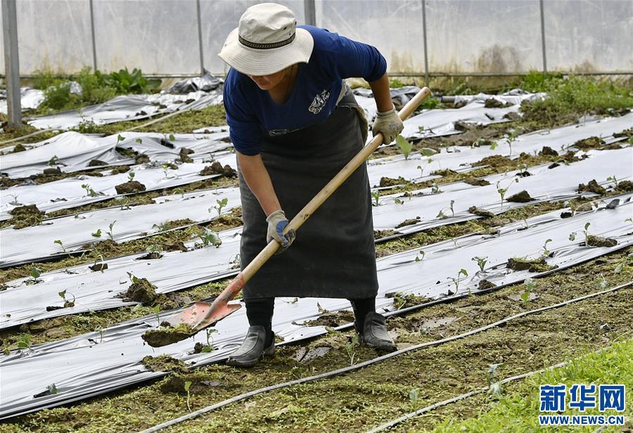 """(经济)(1)西藏林芝:蔬菜种植 鼓起百姓""""钱袋子"""""""