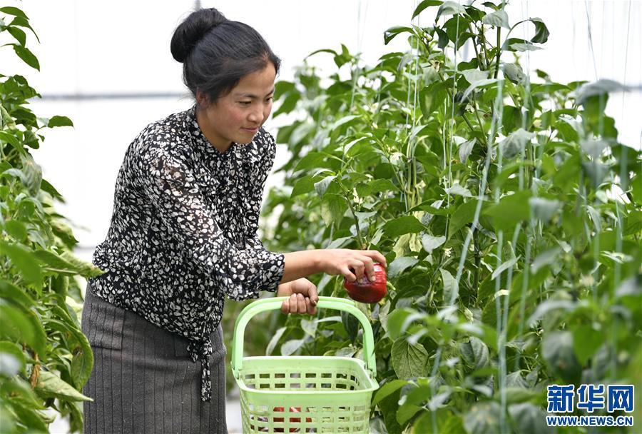 """(经济)(2)西藏林芝:蔬菜种植 鼓起百姓""""钱袋子"""""""