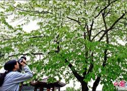四月暮春时节 峨眉山珙桐祥鸽吐露独有的芬芳
