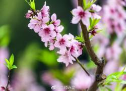 翁源桃花已成海!三月等你来旺桃花、结桃缘!