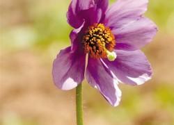 绿绒蒿 绽放高原的稀世之花