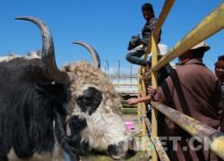 甘肃省玛曲县举办第五届牦牛藏羊藏獒展示评比大赛