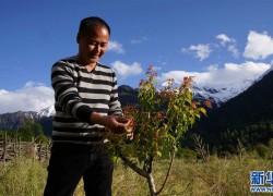 西藏波密:青梅产业助力脱贫